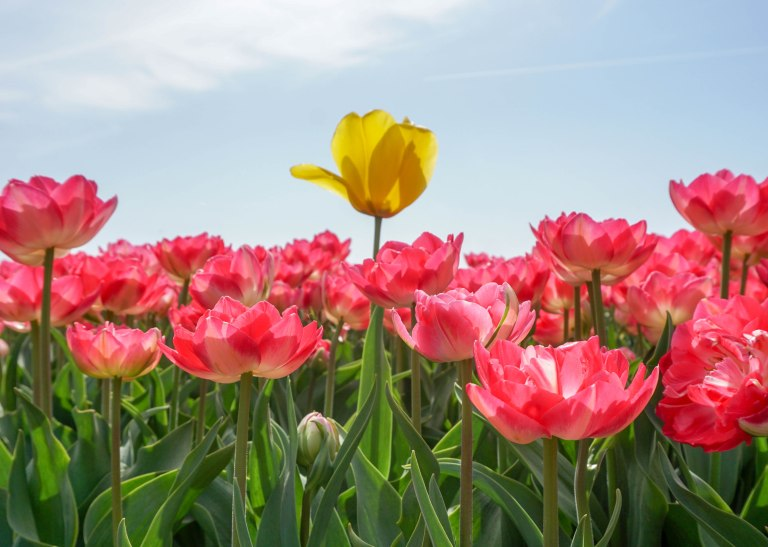 single yellow tulip in a field of pink flowers