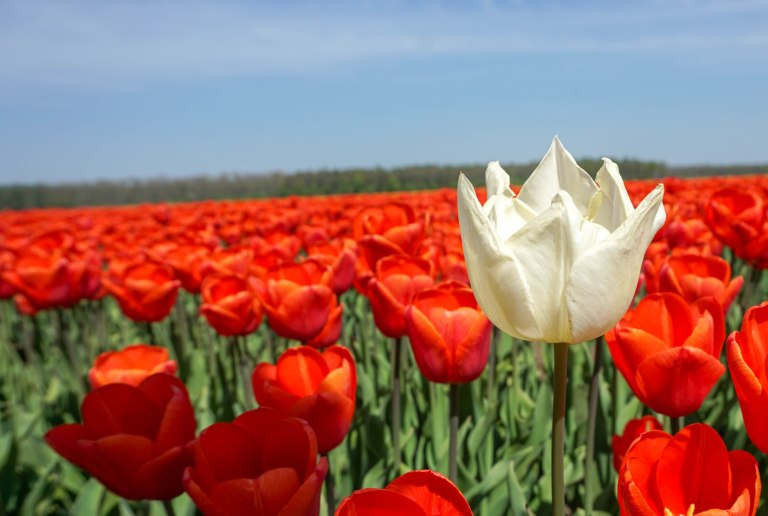 single white tulip in a field of red tulips