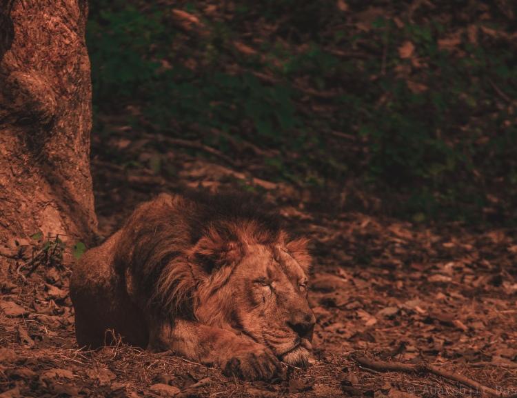 male lion sleeping in the setting sun