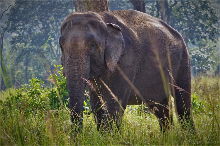 Asian elephant at the WRRC