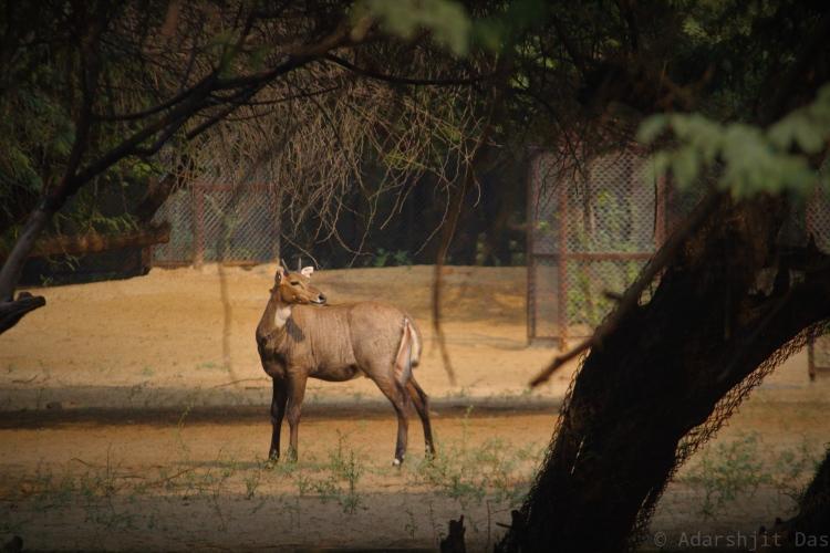 nilagai deer in natural habitat