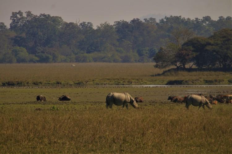 rhino's and buffalo's grazing