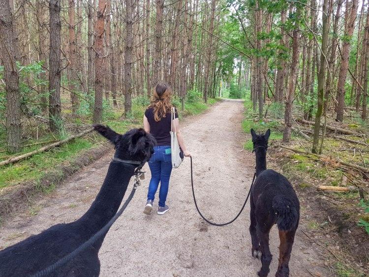 Beleefboerderij Heijerhof, Netherlands, girl takes alpaca for a walk in the forest