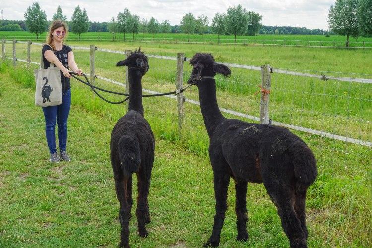Beleefboerderij Heijerhof, Netherlands, girl tries to move two stubborn alpacas