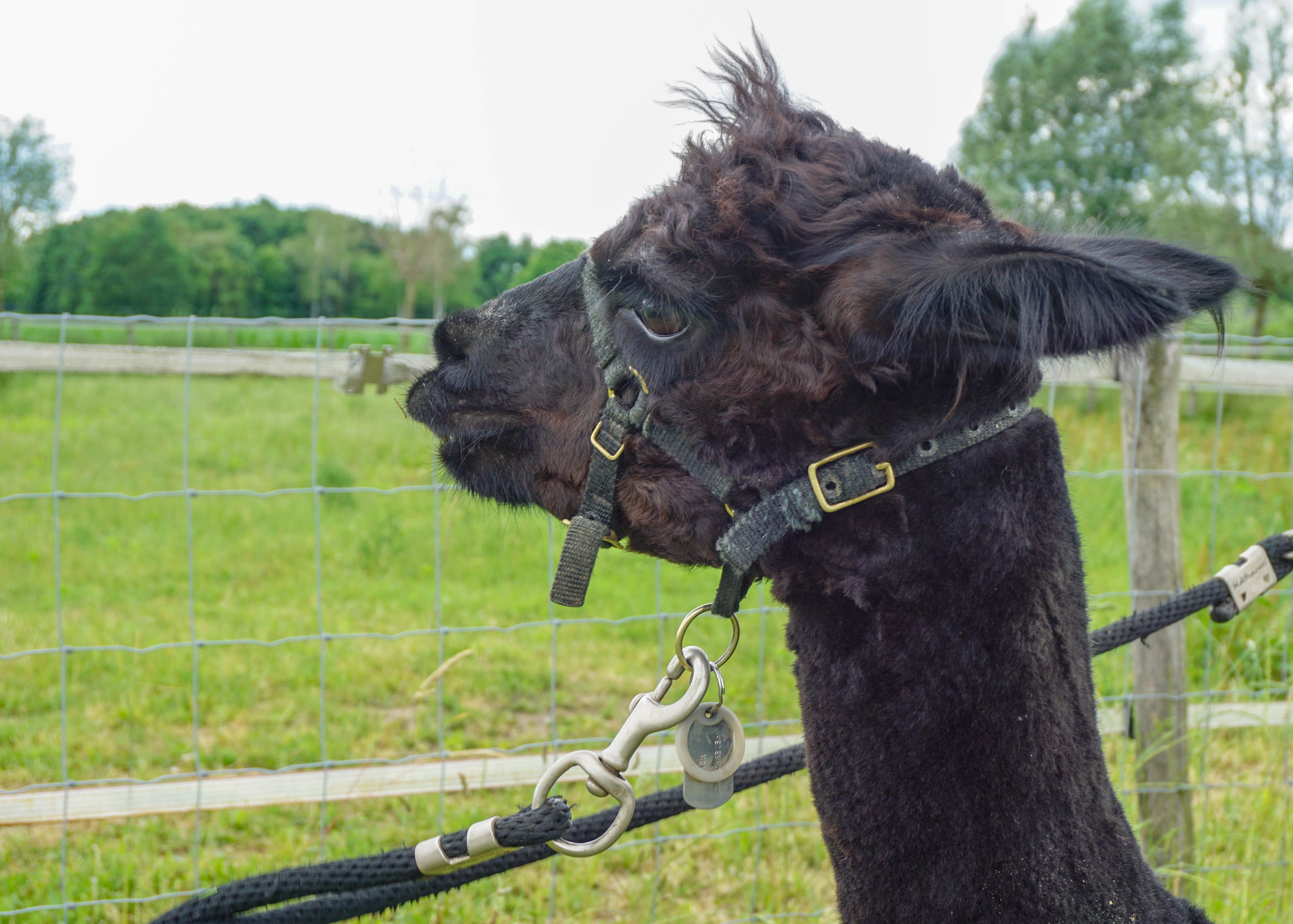 Smart looking alpaca at Beleefboerderij Heijerhof, Netherlands