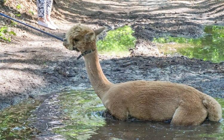 Beleefboerderij Heijerhof, Netherlands, brown Alpaca in a puddle, stubborn, won't move, stuck in mud